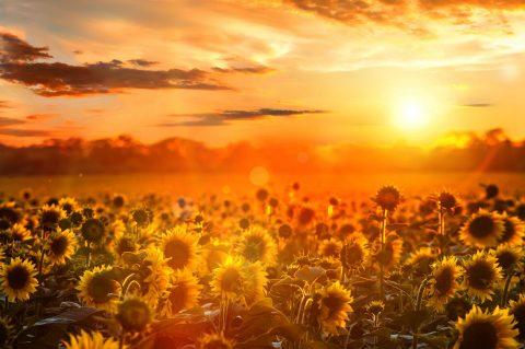 Sunflower Fields Canvas Print Melbourne Australia