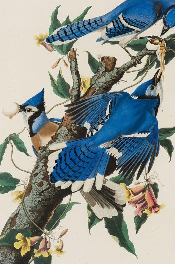 Blue Jay by John James Audubon Framed Wall Art picture Australia