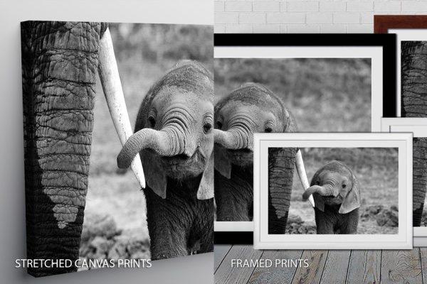 Elephant Quality Canvas Print