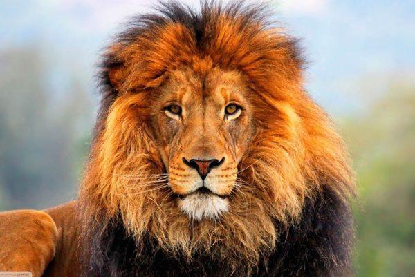 Lion Photo On Canvas Artwork