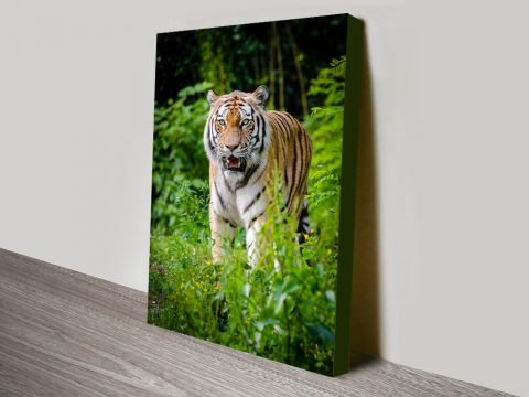 Buy a Print of a Tiger Great Gift Ideas Online