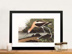 Avocet Framed John James Audubon Art