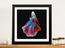 Siamese Fighting Fish No.3 Framed Print