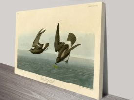 Least Stormy Petral James Audubon Seabird Aquatint Reproduction Art