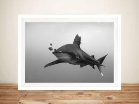 Longimanus Whitetip Shark Black and White Photo Framed Wall Print
