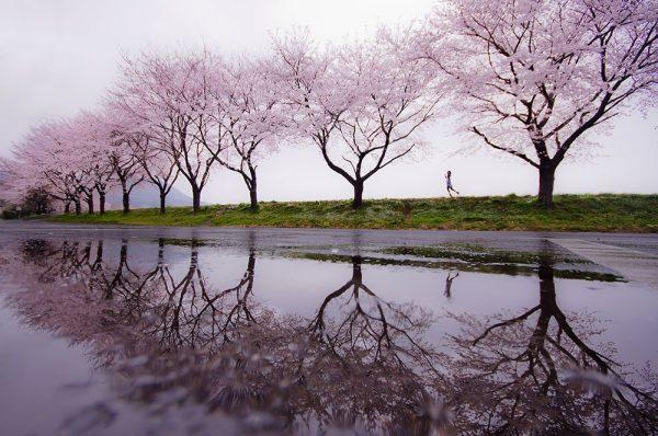 Cherry Blossom Giclee Canvas Wall Art