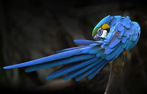 Blue Parrot canvas picture Australia