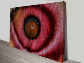 eye see suraka moth from madagascar print online
