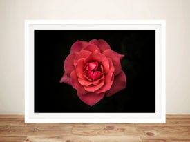 Isolated Red Rose Framed Wall Art Australia