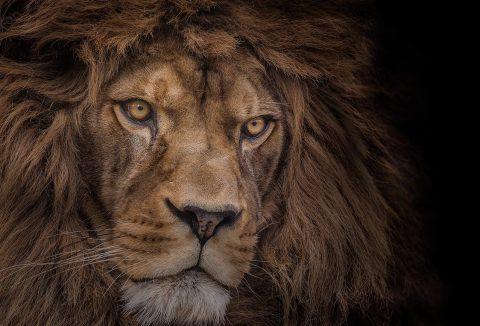 Atlas Majestic Lion Canvas Print