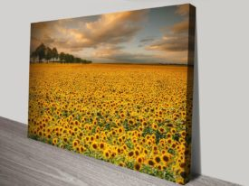 Valley of Sunflowers Canvas Prints Art