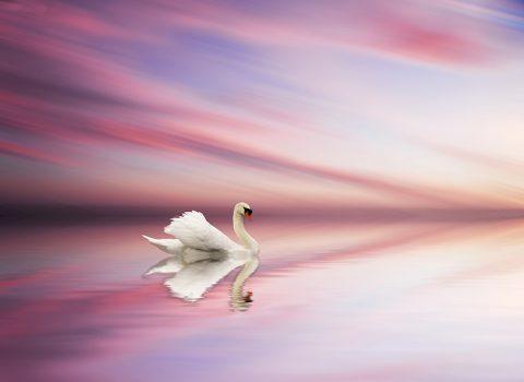Swan at sunset on lake canvas print sydney