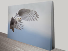 Swooping owl Photo canvas art