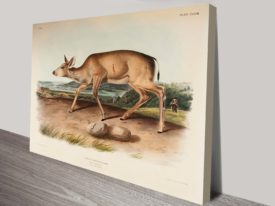 Black Tailed Deer by James Audubon Painting Reproduction Canvas Art