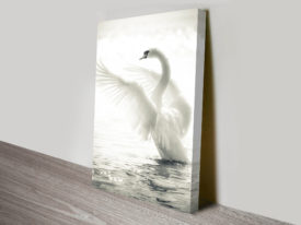 Swan Lake Black and White Mute Swan Photographic Art Canvas Australia