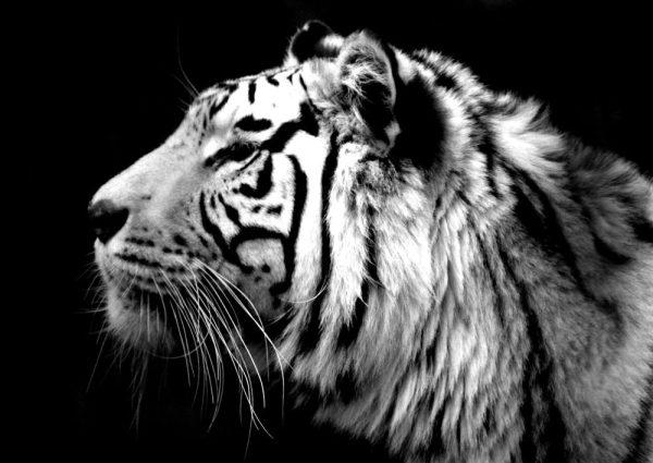 Tiger Black & White Photo Canvas Print Darwin